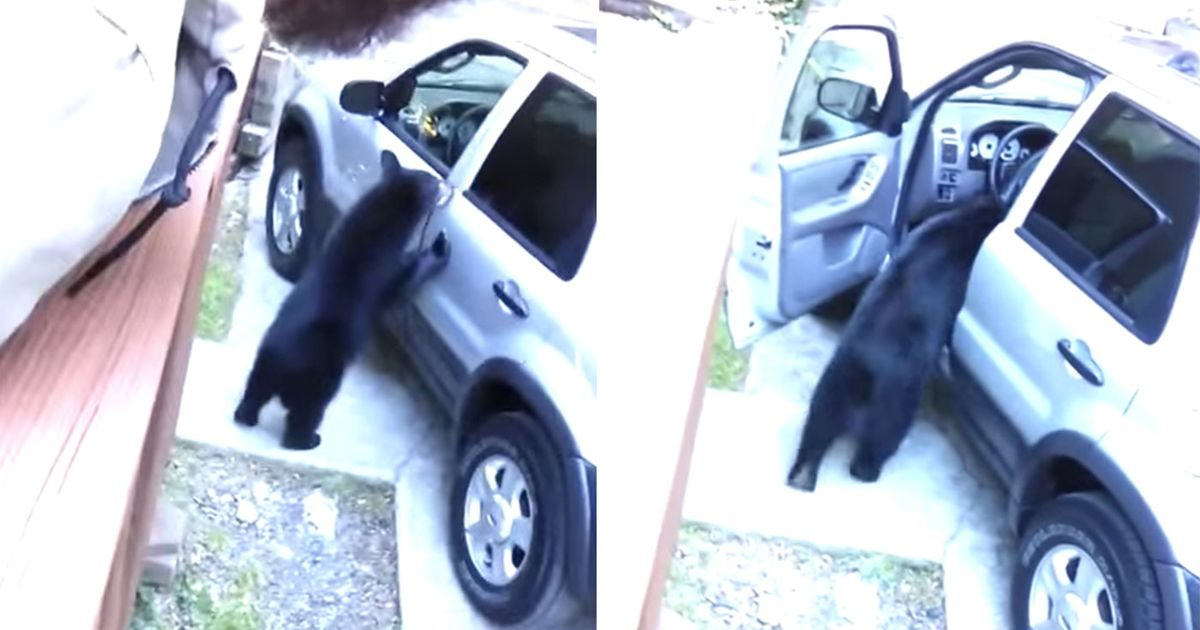 Bears Can Open Car Doors And We Should All Be Terrified